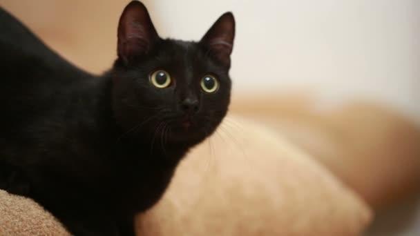 Velká kočička černá pic