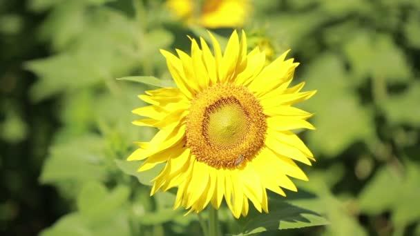 Pole slunečnic. Jedna krásná květina v popředí v zaměření