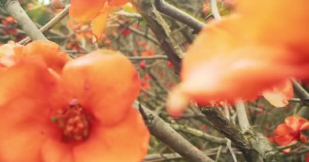 detailed extreme close-up of red japanese quince flowers. Chaenomeles japonica