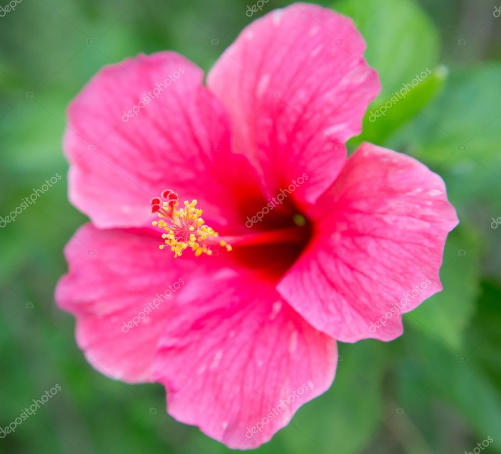 Pink hibiscus flower with leaves on green background stock photo pink hibiscus flower with leaves on green background stock photo izmirmasajfo