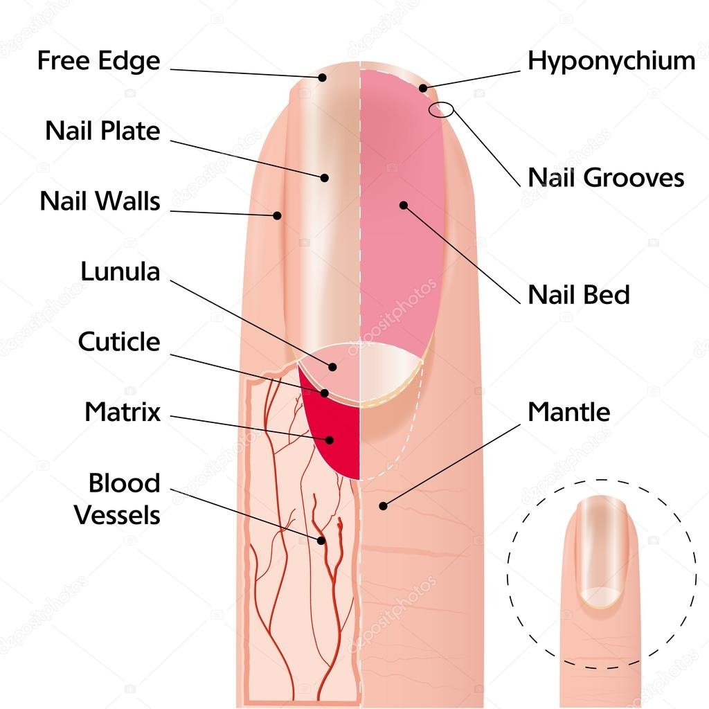 Estructura de uña de dedo — Archivo Imágenes Vectoriales © s ...