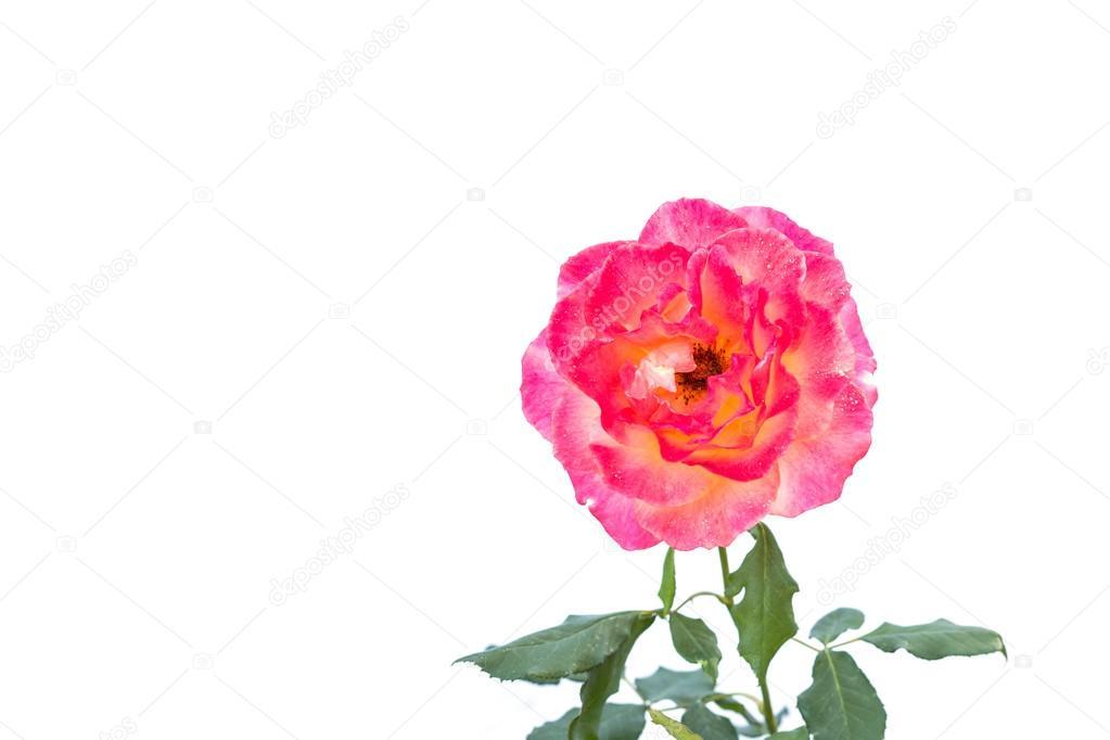Flor rosa color de rosa en la rama y hoja aislados en blanco — Foto ...