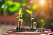 Mladé lusky rostlin v půdě a rozostření pozadí