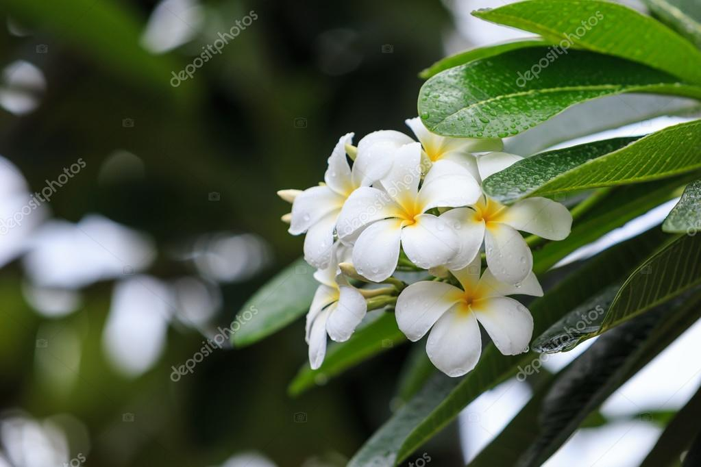 Fiori Bianchi E Gialli.White And Yellow Tropical Flowers Frangipani Plumeria On Tree