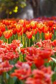 Tulipánok a park