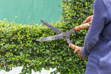 Gardener cutting a hedge in the garden