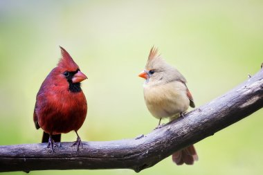 Male and female cardinal love birds