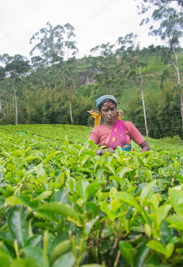 NUWARA ELIYA  SRI LANKA  APRIL 06 A Tamil woman from Sri Lanka breaks tea leaves on tea plantation with the traditional tea plucking method at labookellie, Sri Lanka on 06th April 2015