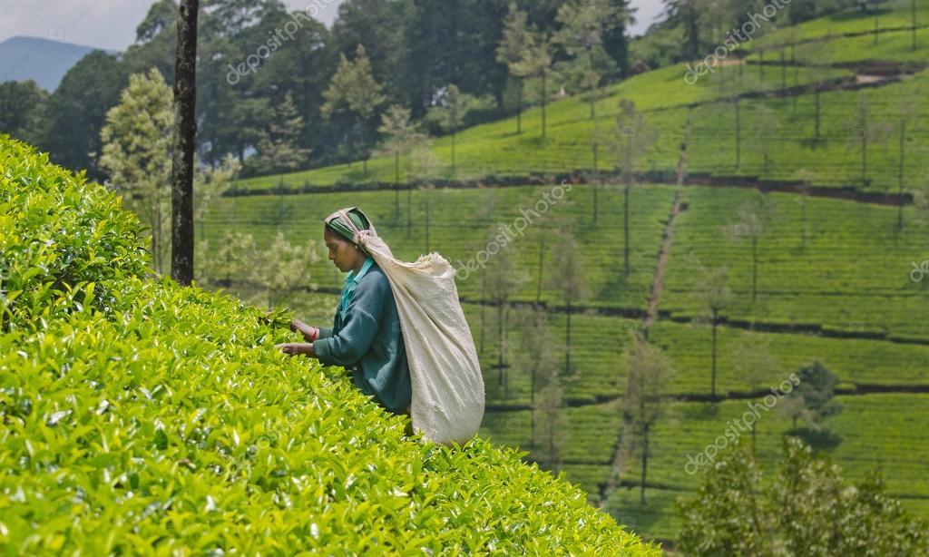 NUWARA ELIYA  SRI LANKA   APRIL 06  A Tamil woman from Sri Lanka breaks tea leaves on tea plantation with the traditional tea plucking method at labookellie, Sri Lanka on 06th April, 2015