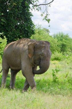 Wild Elephant InUdawalawe National Park