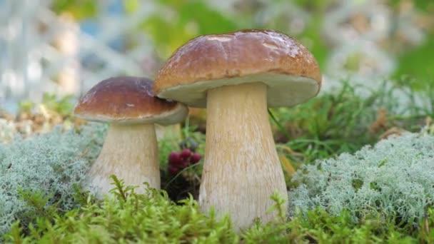 A kamera lassított felvételen forog egy erdei Porcini gombáról..