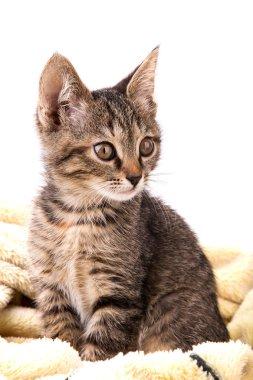 gray tabby kitten on a soft yellow blanket