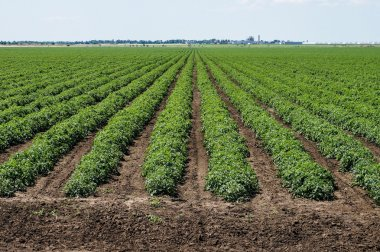 tomato field with rows of tomato plants