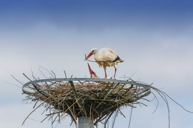 Storks nest building