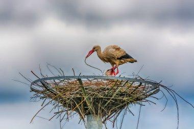 Female and Male Stork
