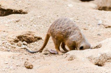 Meerkats digs