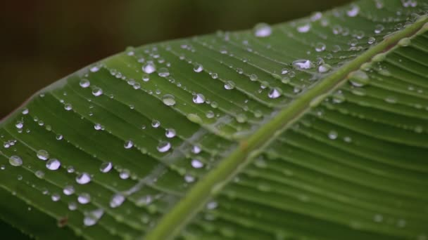 dešťové kapky na banánovém listu. detail