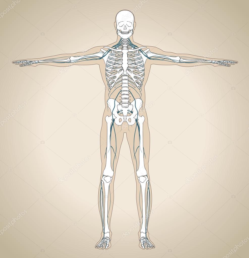 Das menschliche Nervensystem — Stockvektor © kniazev #58428907
