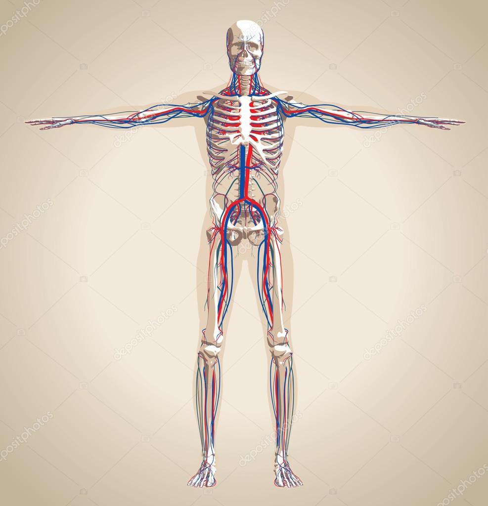 Mensch (männlich) Kreislauf und Nervensystem — Stockvektor © kniazev ...