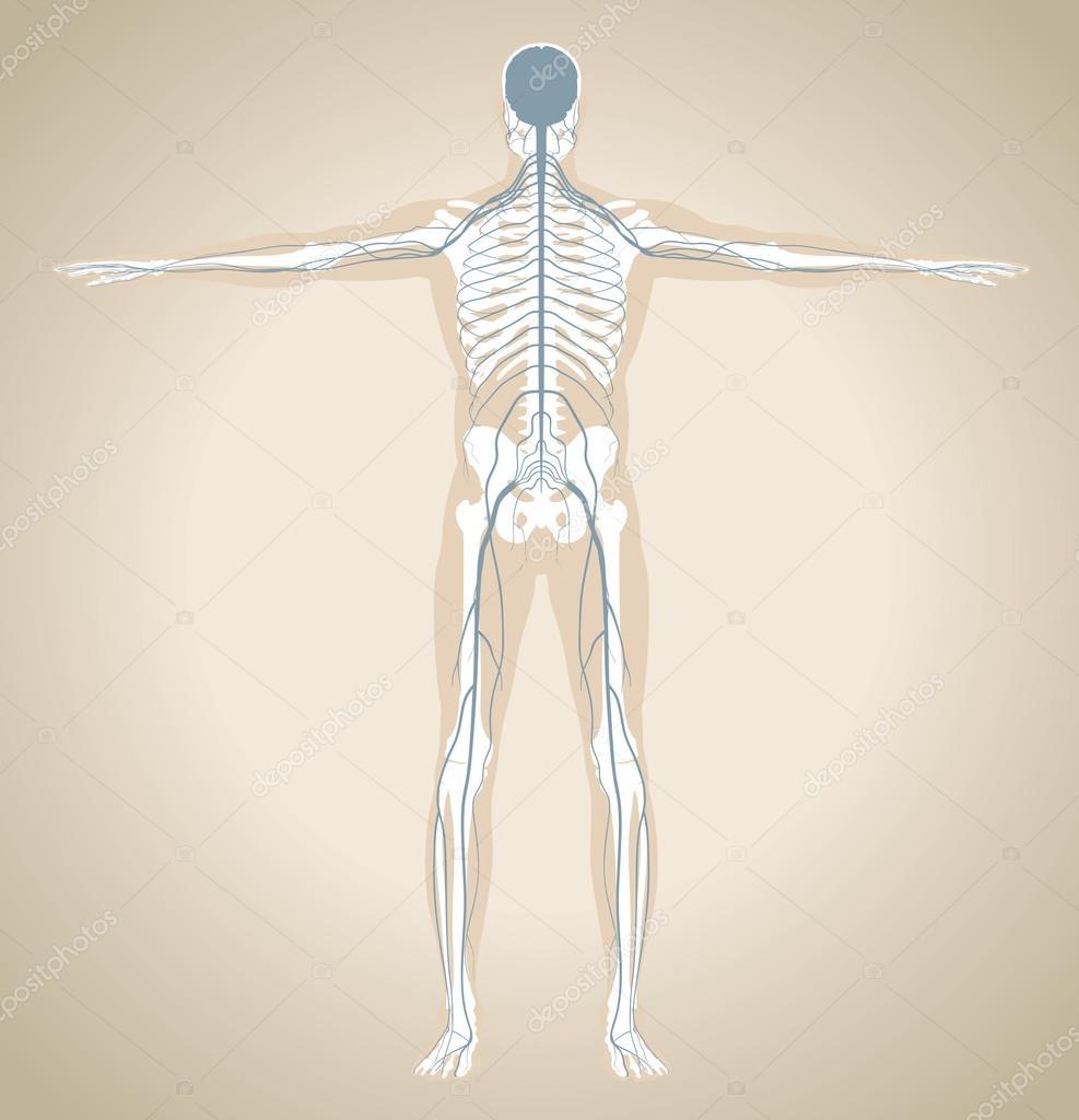 Das menschliche Nervensystem — Stockvektor © kniazev #58429129