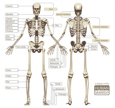 A diagram of the human skeleton