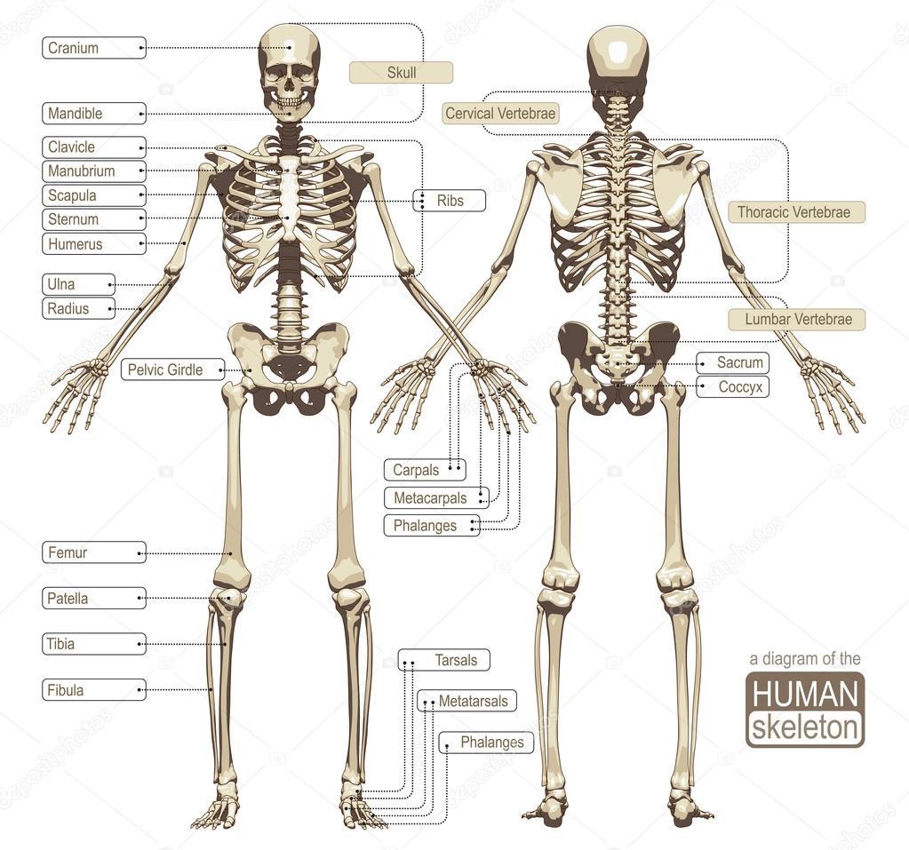 Un diagrama del esqueleto humano — Archivo Imágenes Vectoriales ...