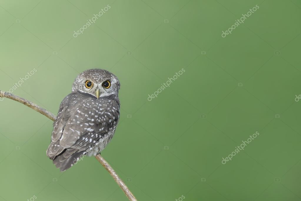 Bird (spotted owlet) perching on branch