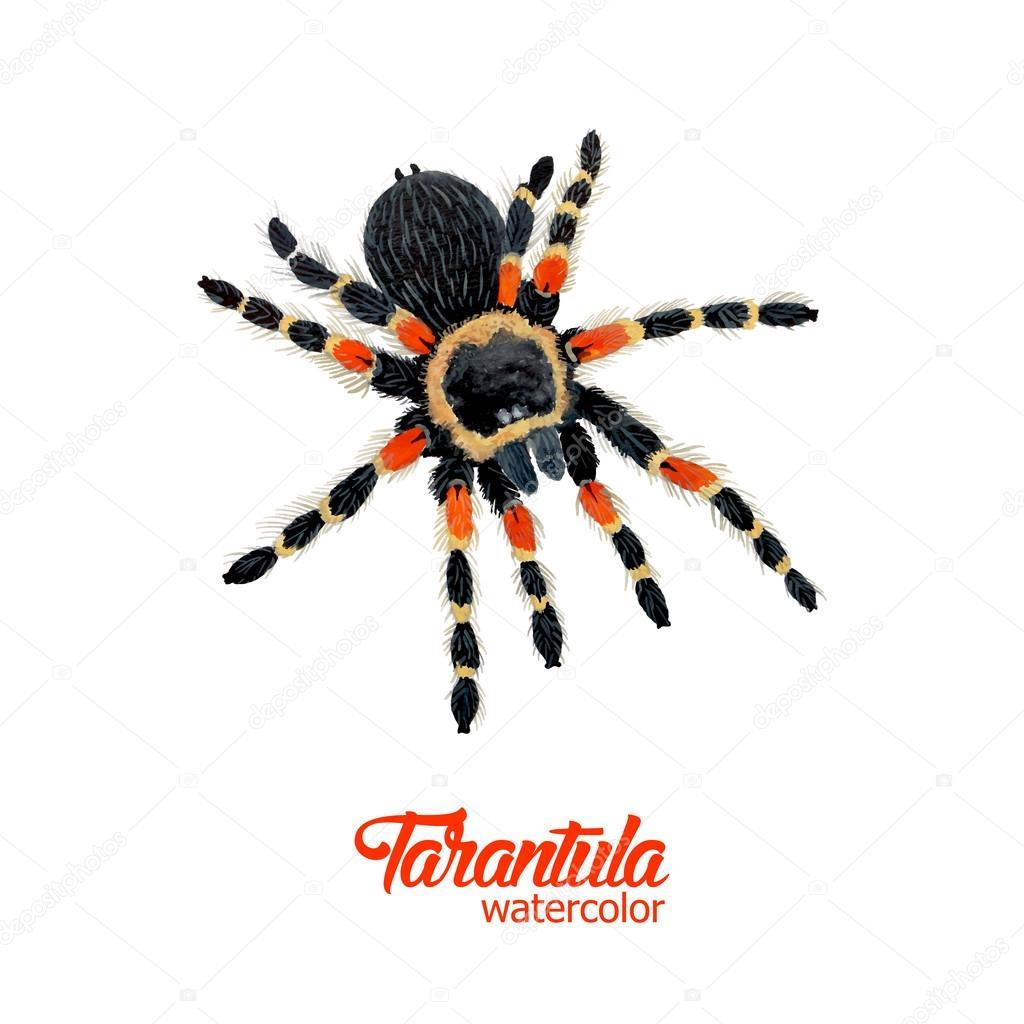 Tarantula araña acuarela — Vector de stock © AnaWhite #66314183