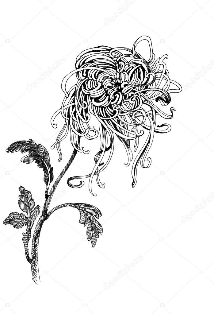 mano-dibujo crisantemo — Foto de stock © Kostan-PROFF #54511175