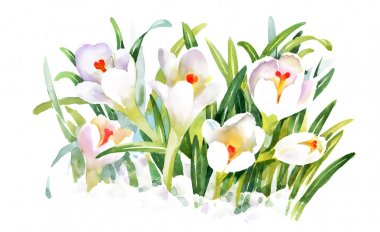 Watercolor crocus flowers
