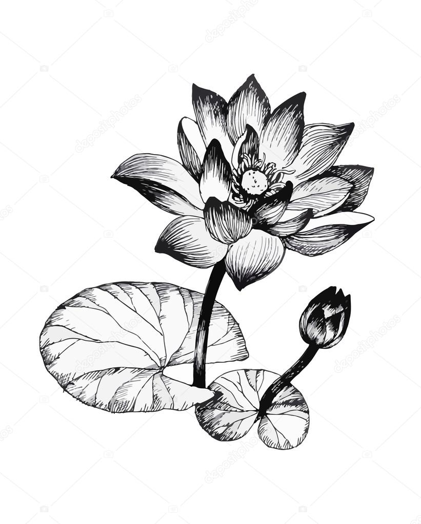 Water lily flowers on pond black and white illustration