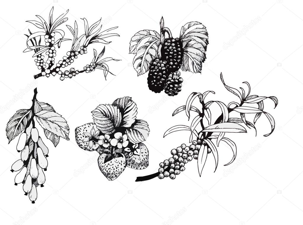 Blackberries, strawberries and dogwood and sea buck-thorn berries, black and white illustration set