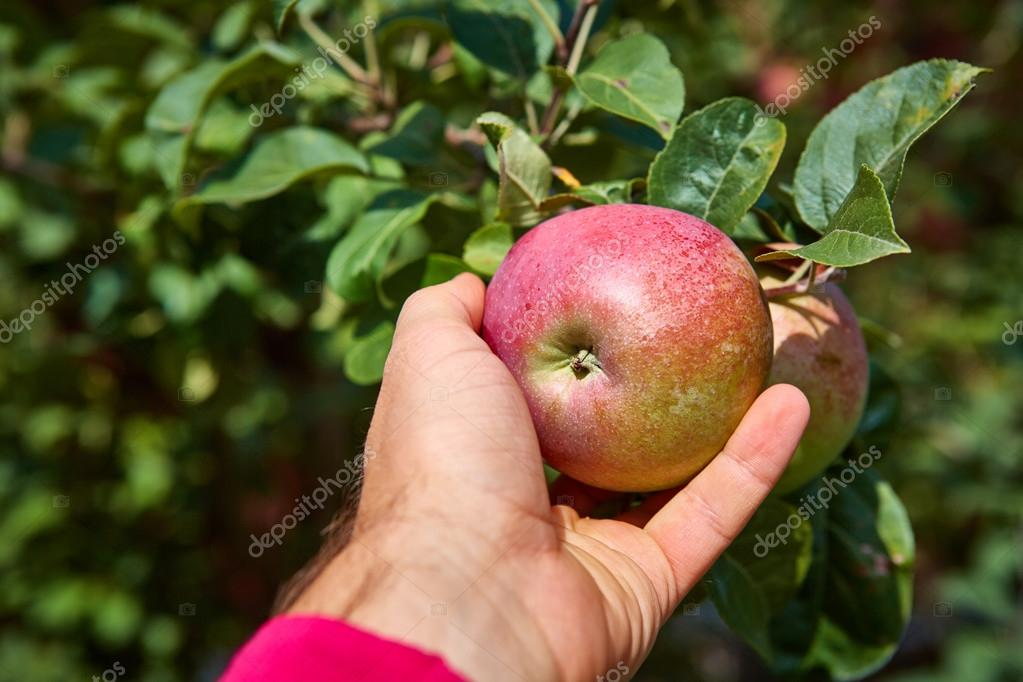 apple tree with apples