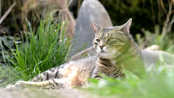 graue süße Katze liegt auf dem Garten