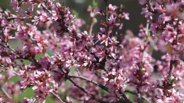 růžový třešňový květ