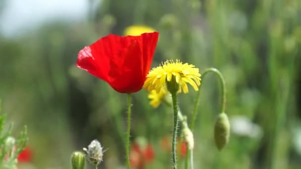 Poppy and yellow dandelion at the meadow