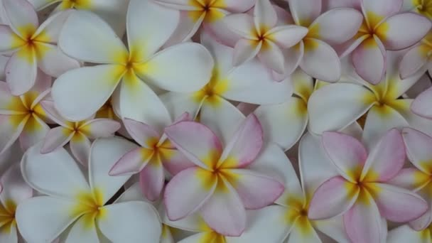 Closeup white and rose plumeria flowers background
