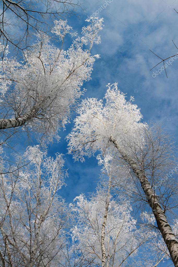 Kroner of birches in hoarfrost