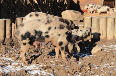 Domestic pig and little pigs