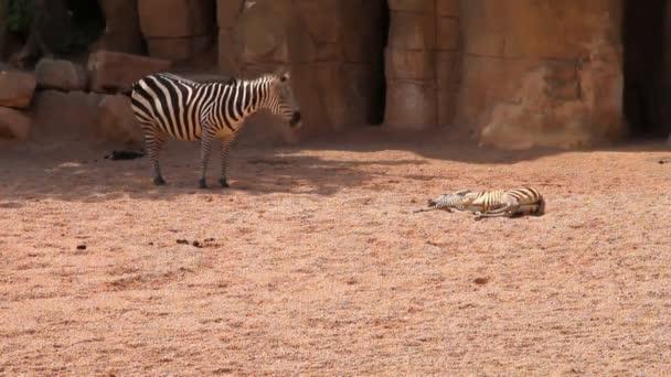 Zebras, female and cub. Biopark, Valencia, Spain
