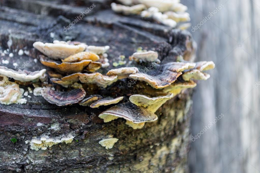 Champignon de plateau sur le tronc d arbre photographie rostovdriver 120225244 - Champignon sur tronc d arbre ...