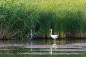 Two herons, Great egret and Grey heron in a lake.