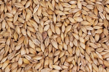 Barley beans in wooden plate. Grains of malt close-up. Barley on sacking background. Food and agriculture concept.
