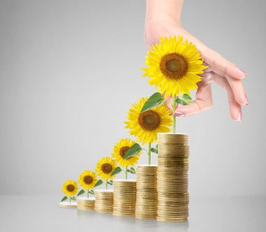 Sunflower and coins Money growth concept