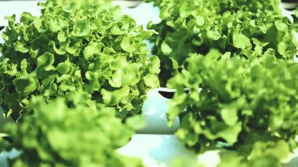 Metodo di coltura idroponica di coltivazione di piante in acqua senza suolo