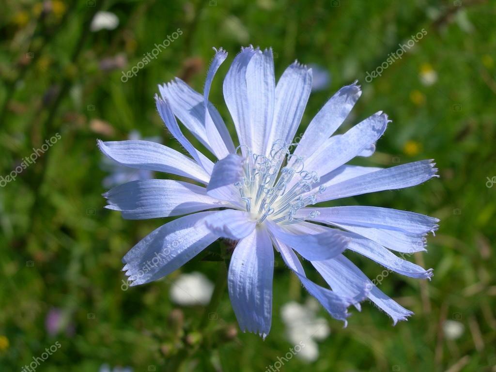 Chicorée Blüten An Einem Sonnigen Tag Stockfoto Dewberry 109991226