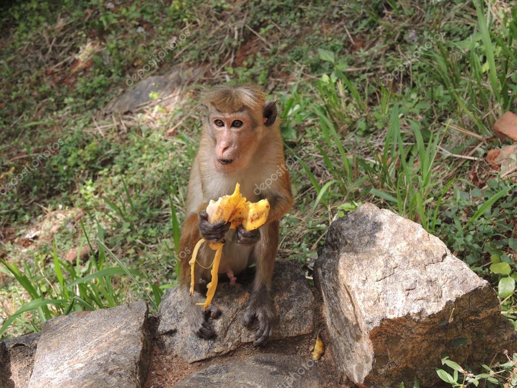 singe qui mange une banane photographie dewberry 52624867. Black Bedroom Furniture Sets. Home Design Ideas
