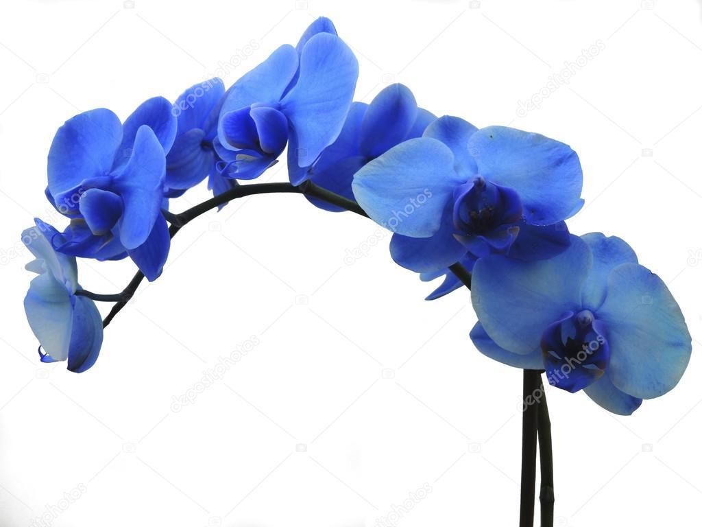 orchidee bleue phalaenopsis