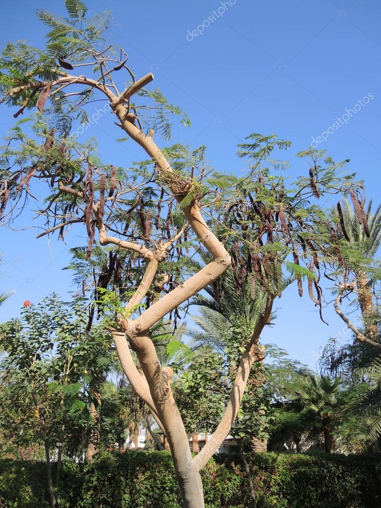 Evergreen carob