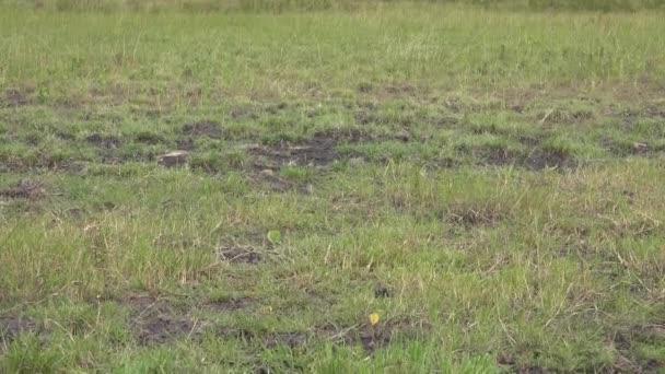 Mixed Wildlife Animals in the Standard Natural African Savannah. Animal wild impala impalas zebras zebra documentary mammal zoom wild boar hog scrubland thicket maquis topis shrubs topi Africa Congo.